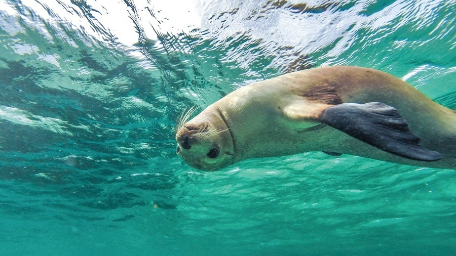 South Australian Sea Lion