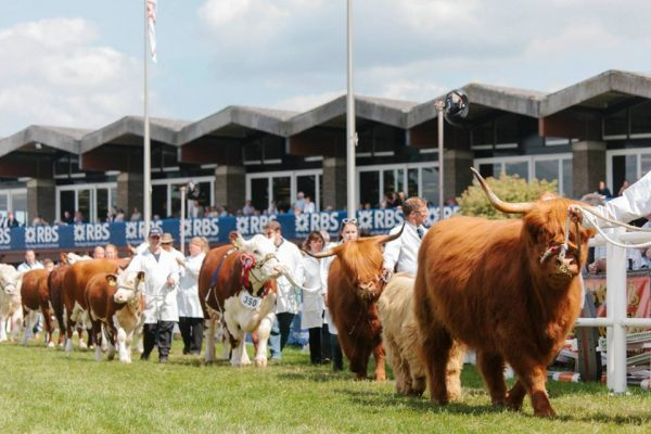 A parade of Royal Highland Cattle